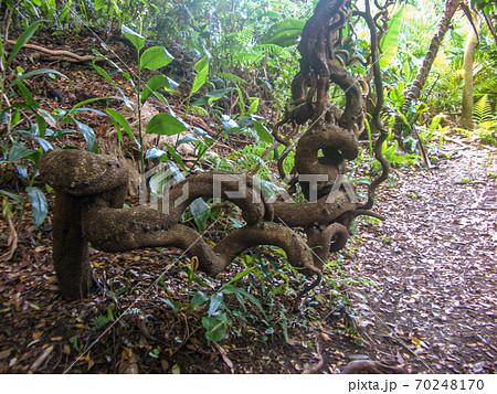 屋久島で見つけた二重螺旋状に成長した異形の木 70248170