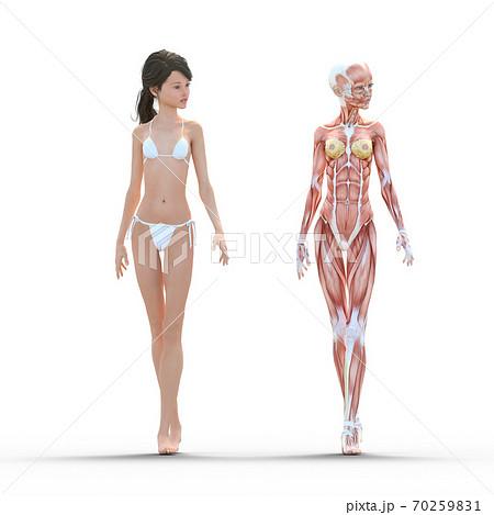 女性 解剖 筋肉 perming3DCG イラスト素材 70259831
