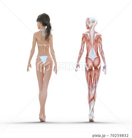 女性 解剖 筋肉 perming3DCG イラスト素材 70259832