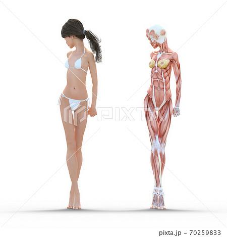 女性 解剖 筋肉 perming3DCG イラスト素材 70259833