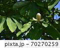 朴の花 70270259