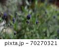 ラベンダーの花 70270321