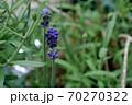 ラベンダーの花 70270322
