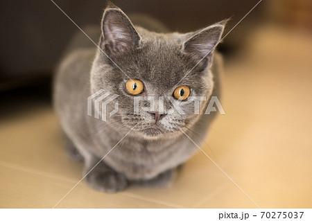ブリティッシュショートヘアーの子猫 グレー 70275037