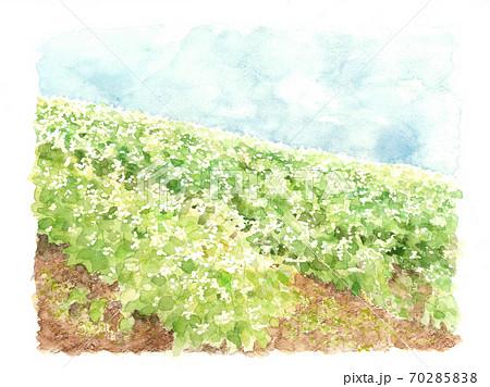 蕎麦畑 風景 青空 ソバの花 白い花 野菜の花 自然 【水彩】 70285838