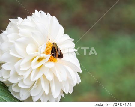 満開の秋の花 鮮やかな真っ白なポンポンダリアと可愛いイチモンンジセセリチョウ 70287124