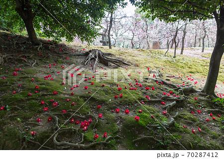 城南宮楽神苑「春の山」、椿の花と梅の花弁に覆われた苔床 70287412