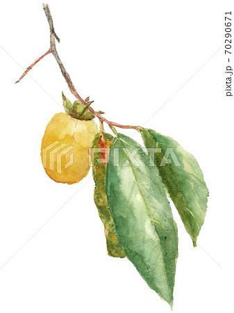 カキ 西条柿 枝葉付き 果物 実 白背景 【水彩】 70290671
