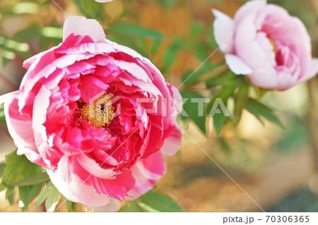 桃色の牡丹二輪 70306365