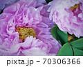 淡い紫の牡丹二輪アップ 70306366