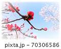 木瓜と桜と青空(周囲ぼかし) 70306586