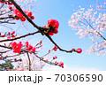 木瓜と桜と青空 70306590