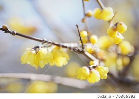蝋梅の枝 70306592