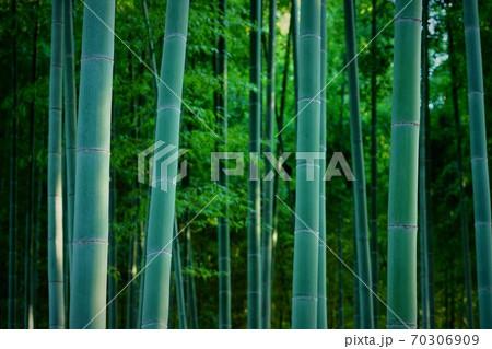 蒼き竹林内の竹 70306909