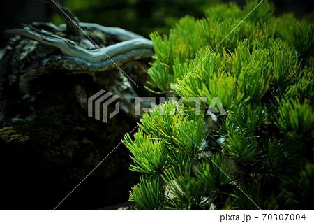 松の枝 70307004