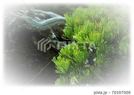 松の枝(周囲ぼかし) 70307006