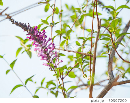 薄紫色の藤のような花をつけるフジウツギ 70307200