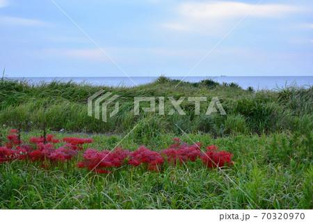 根本海岸(千葉県南房総市)の海端に咲くヒガンバナ 70320970