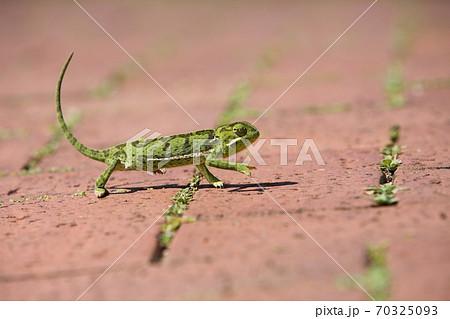 南アフリカ ダーバン郊外に現れたカメレオン 70325093