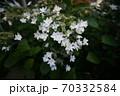 道端の小さな白い花 70332584