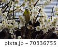 伊豆の野鳥・目白 70336755