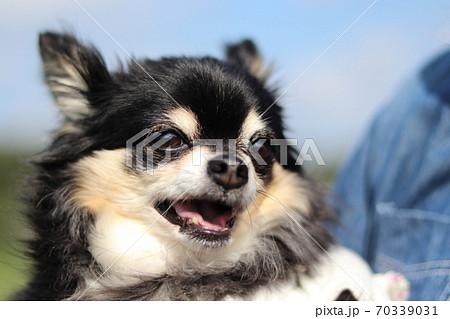 女性の抱っこ散歩で笑顔のチワワのアップ 70339031