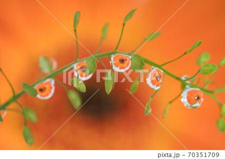 植物に付いた水滴に映るオレンジ色のガーベラ 70351709