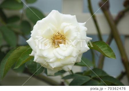 白いバラ 品種:レオナルドダヴィンチ 70362476