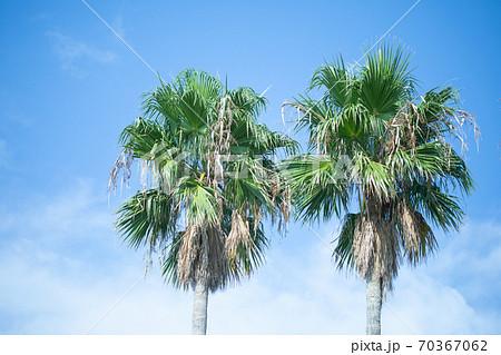 ヤシの木 (ビデオ会議の背景として使用してもらえると嬉しいですね) 70367062