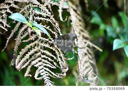 ウスイロコノマチョウの秋型(♂) 70368069