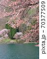 中綱湖 桜咲く春 70377509