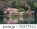 中綱湖 桜咲く春 70377511