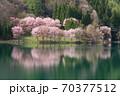 中綱湖 桜咲く春 70377512