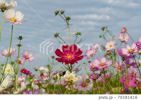 秋、青空と白い雲を背景にした赤いコスモスの花 70381816
