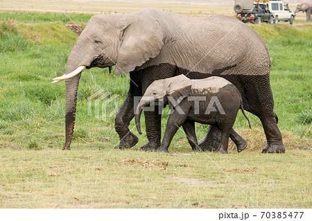 6月のケニアアンボセリ国立公園 サバンナにある沼から出てきた象の親子 70385477