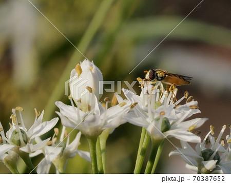 花ニラに止まり花粉を食すミナミヒメヒラタアブ 70387652