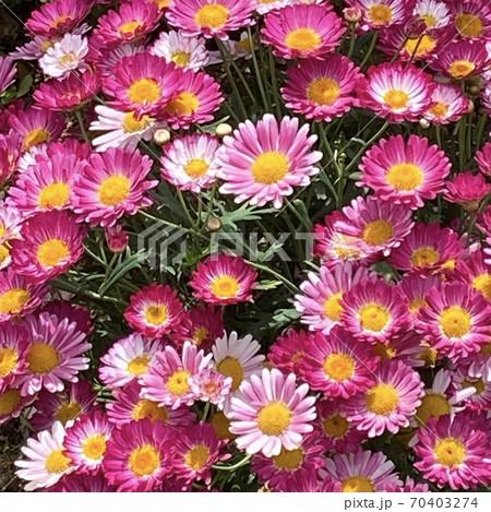 2020年の春に咲いていたピンク色の花 70403274