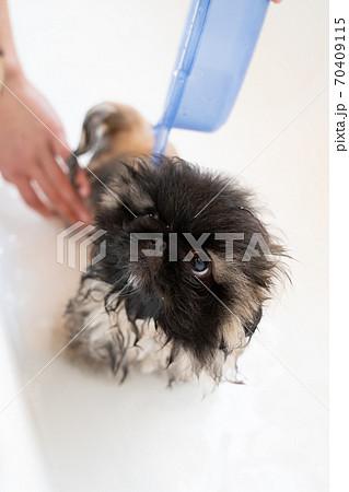 バスタブでシャワー中のペキニーズの子犬と飼い主の手 70409115