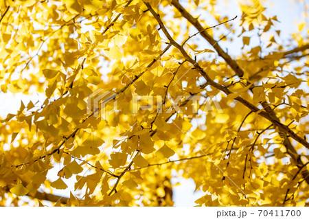 風景素材 鮮やかに色付いたイチョウの葉 70411700