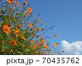 青空とキバナコスモス 70435762
