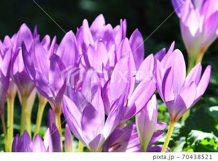 光輝くサフランの花 陽光浴びるサフランの花 70438521