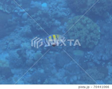 バリ島のオヤビッチャ(スズメダイ) 70441066