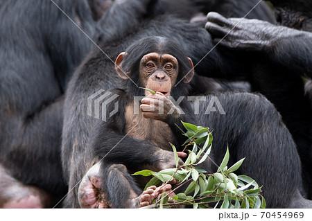 大人の群れの前で葉っぱを食べるチンパンジーの子供 70454969