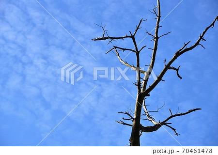 枯木の梢とうろこ雲と秋の青空 岡山県真庭市 70461478