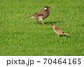 芝生の上でスズメとムクドリが接近 70464165