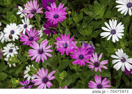 鮮やかな色彩のアフリカンデイジーの花 70475973
