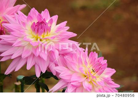 「優萌(ゆめ)」という名のピンク色のダリア(3) 70480956