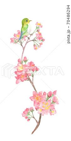水彩で描いた桜とうぐいすのイラスト 70486294