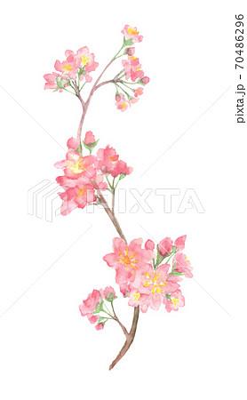 水彩で描いた桜のイラスト 70486296