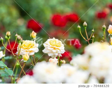 満開の色とりどりの秋バラ 赤バラを背景に清楚な薄黄色のバラ 70488320